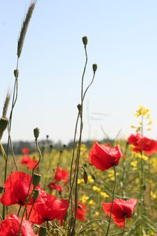 Free Poppies Royalty Free Stock Photography - 5683697