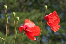Free Poppies Stock Photo - 5683760