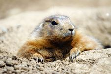 Free Prairie Dog Stock Images - 5683984