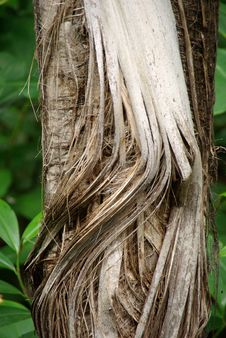 Free Frayed Palm Trunk Stock Photography - 5684672