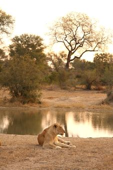 Free Lioness In Sabi Sands Stock Photography - 5687232