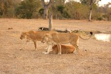 Free Lioness In Sabi Sands Stock Images - 5687284