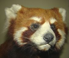 Red Panda Or Small Panda Ailurus Fulgens Stock Image
