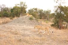 Free Lioness In Sabi Sands Stock Photos - 5687453