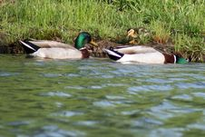 Free Duck Family Stock Photography - 5687472