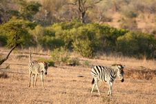 Free Zebra In Sabi Sands Stock Image - 5687631