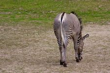 Free Lonely Zebra Stock Images - 5687714