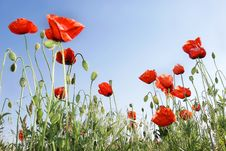 Free Red Poppies Royalty Free Stock Photography - 5687767