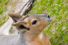 Cute Wallaby Baby Stock Images