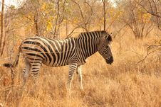 Free Zebra In Sabi Sands Stock Photo - 5687840