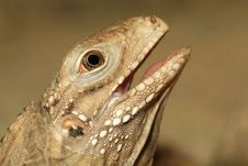 Portrait Of Lizard Royalty Free Stock Photography