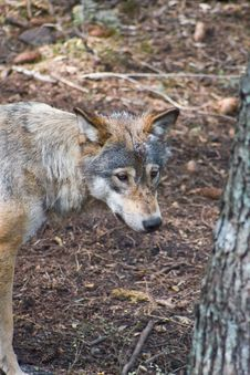 Free Wolf In Forrest Stock Photography - 5687912