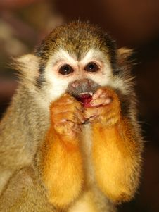 Free Squirrel Monkey Kid Royalty Free Stock Photo - 5687925