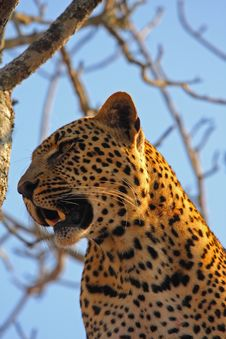 Free Leopard In A Tree Stock Photos - 5687983