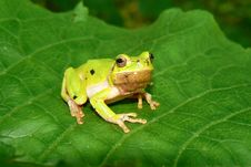 Free Frog On A Green Sheet Royalty Free Stock Photo - 5688285