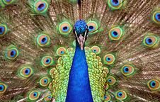 Free Peacock Eyes Stock Photography - 5688892