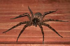 Free Tarantula Terror Royalty Free Stock Photos - 5688988