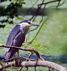 Free Close-up Black-crowned Night Heron Hunting Royalty Free Stock Photography - 5689257