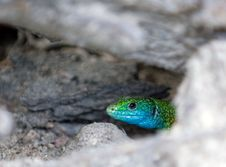 Free Lizard Hid In The Burrow Royalty Free Stock Images - 5689289