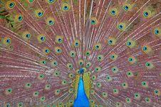 Free A Beautiful Peacock. Stock Image - 5689461