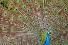 Free A Beautiful Peacock. Royalty Free Stock Photos - 5689468