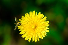 Free Dandelion Royalty Free Stock Images - 5689479
