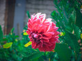 Free Big Red Dahlia Flower Stock Images - 56847774