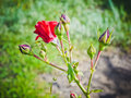 Free Tender Young Twig Roses With Swollen Buds Royalty Free Stock Photos - 56847798