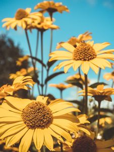 Free High Bush Yellow Daisies Royalty Free Stock Photo - 56847755