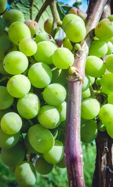Young Big Green Grapes Hanging On The Vine Purple Stock Photo