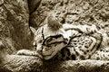 Free Jaguar Royalty Free Stock Image - 5691666