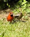 Free Cardinal And Young Royalty Free Stock Photos - 5695738