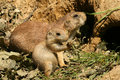 Free Baby And Parent Prairie-dog Royalty Free Stock Photo - 5695925