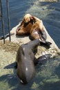 Free California Sea Lions Stock Photography - 5698342