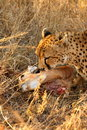 Free Cheetah On A Kill Stock Photography - 5698932