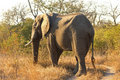 Free Elephant In Sabi Sands Royalty Free Stock Photo - 5699675