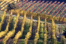 Warm Vineyards In Autumn Royalty Free Stock Photo