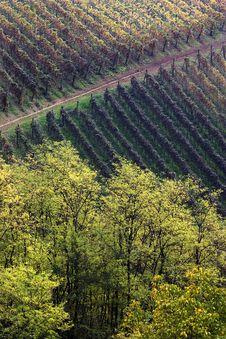 Free Tree And Vineyards Royalty Free Stock Photo - 5690265