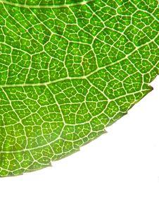 Free Rose Leaf Royalty Free Stock Image - 5690686