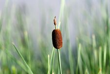 Free Cattail Royalty Free Stock Photography - 5691147
