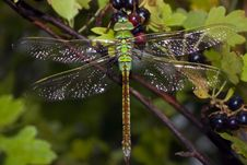 Free Dragonfly Royalty Free Stock Image - 5691216