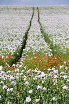 Free Poppy Field Royalty Free Stock Photography - 5691457