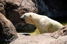 Free Polar Bear Stock Photography - 5691492