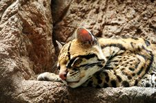 Free Jaguar Stock Photo - 5691700