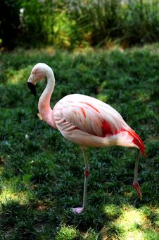 Free Flamingo Royalty Free Stock Photos - 5691848