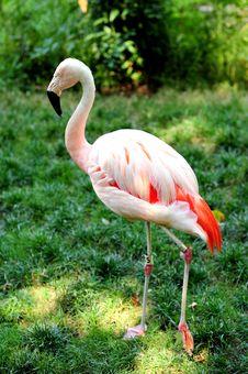 Free Flamingo Stock Photo - 5691890