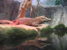 Free Crocodile Royalty Free Stock Photo - 5692415