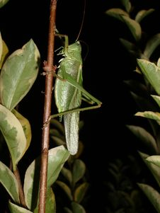 Free Grasshopper In Normandy Royalty Free Stock Photography - 5692597