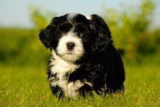 Bichon Havanais Puppy Dog Stock Photo