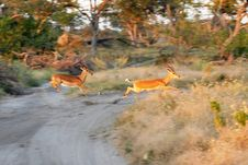Free Running Impala Stock Photography - 5693562